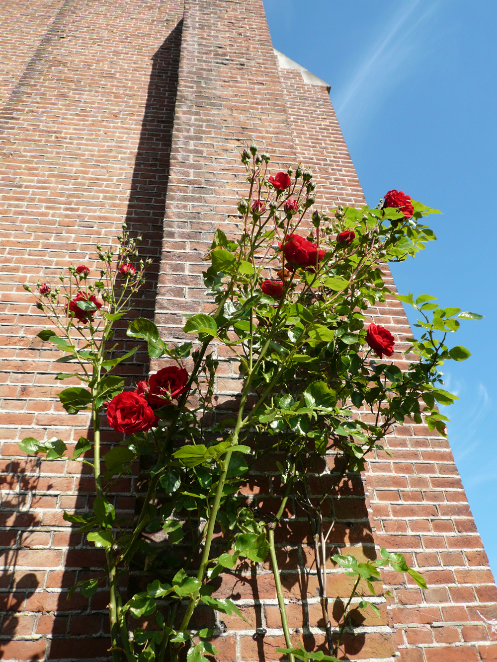 De roos bloeit.